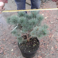 Сосна обыкновенная Chantry Blue (Pinus sylvestris Chantry Blue)